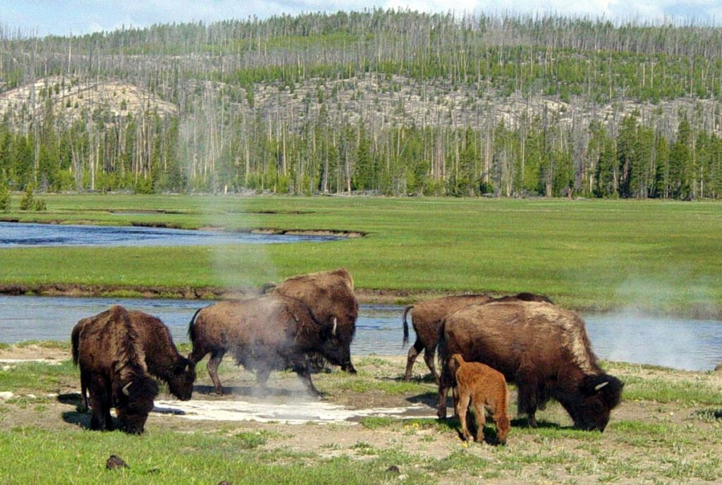 bison in yellow stone